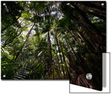 Rain Forest Canopy in Bako National Park Posters by Mattias Klum
