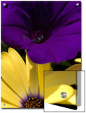 Purple Petunia and Yellow Osteospermum Sitting Side by Side, Groton, Connecticut Posters by Todd Gipstein