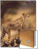 Cheetah (Acinonyx Jubatus) Mother With, Adolescents, Samburu National Reserve, Kenya Art by Gerry Ellis