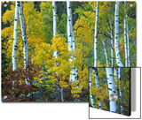 Beautiful Aspen Grove in Autumn, Aspen, Colorado Posters by Charles Kogod