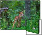 White-Tailed Deer (Odocoileus Virginianus) Fawn with Spots in Forest, North America Prints by Tim Fitzharris/Minden Pictures