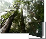 Lianas vines twine around dipterocarp trees Art by Mattias Klum