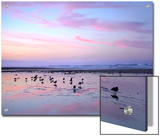 Shorebirds Foraging at Sunset, Pismo Beach, California Posters by Tim Fitzharris/Minden Pictures