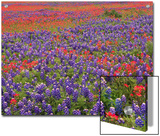 Hill Country Wildflowers, Sand Bluebonnets (LupinusSubcarnosus), Paintbrush (Castilleja Sp.), Texas Posters by Tim Fitzharris/Minden Pictures