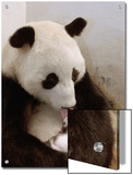 Giant Panda (Ailuropoda Melanoleuca) with Cub, Wolong Nature Reserve, China Poster by Katherine Feng