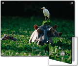 Hippopotamus (Hippopotamus Amphibius) with Cattle Egret (Bulbulcus Ibis) on Head Posters by Gerry Ellis