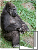 Relaxed Western Lowland Gorilla Mother Tenderly Nursing Her Infant, Melbourne Zoo, Australia Posters by Jason Edwards