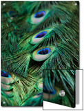 Peacock Feathers Print by Tim Laman
