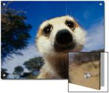 Close View of a Meerkat's Face Prints by Mattias Klum