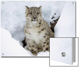 Snow Leopard (Uncia Uncia) Adult Portrait in Snow, Endangered, Native to Asia Poster by Tim Fitzharris/Minden Pictures