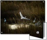 Egrets Along Water's Edge Posters by Karen Kasmauski