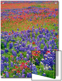 Hill Country Wildflowers, Sand Bluebonnets (LupinusSubcarnosus), Paintbrush (Castilleja Sp.), Texas Prints by Tim Fitzharris/Minden Pictures