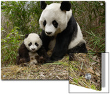 Giant Panda (Ailuropoda Melanoleuca) Mother and Her Cub, Wolong Nature Reserve, China Posters by Katherine Feng