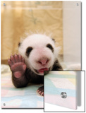 Giant Panda (Ailuropoda Melanoleuca) Cub, Wolong Nature Reserve, China Posters by Katherine Feng