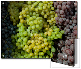 Bunches of Grapes of Three Colors Lit by the Sun, Tuscany, Italy Prints by Todd Gipstein