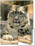 Frontal Portrait of a Snow Leopard's Face, Paws and Predators Stare, Melbourne Zoo, Australia Poster by Jason Edwards
