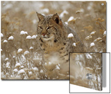 Bobcat (Lynx Rufus) Camouflaged in Snowy Meadow, Montana Prints by Tim Fitzharris/Minden Pictures