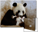 Giant Panda (Ailuropoda Melanoleuca) Caring for Cub, Wolong Nature Reserve, China Prints by Katherine Feng