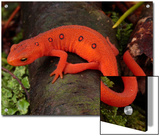 Red Eft Crawls on the Forest Floor Posters by George Grall