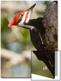 Closeup of a Pileated Woodpecker, Sanibel Island, Florida Poster by Tim Laman