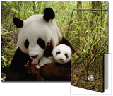 Giant Panda (Ailuropoda Melanoleuca) Gongzhu and Cub in Bamboo Forest Prints by Katherine Feng