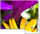 Close View of Purple Petunia and Yellow Symphony Osteospermum, Groton, Connecticut Prints by Todd Gipstein