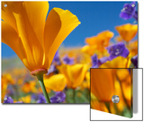 California Poppy (Eschscholzia Californica) Flowers, Antelope Valley, California Prints by Tim Fitzharris/Minden Pictures