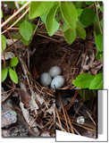 Towhee Nest with 3 Eggs in It. Towhees are Ground Nesting Birds Art by George Grall