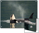 A Killer Whale Calf Raises Out of the Water Next to an Adult Prints by Ralph Lee Hopkins