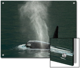 Killer Whale in Johnstone Strait near Vancounver Island, British Columbia, Canada Posters by Ralph Lee Hopkins
