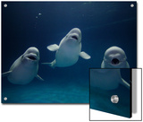 Beluga (Delphinapterus Leucas) Whale Trio Calling, Vulnerable, Shimane Aquarium, Japan Prints by Hiroya Minakuchi/Minden Pictures