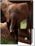 A Wild-Born Elephant Calf Prints by Michael Nichols