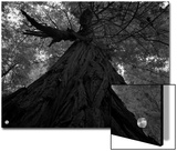 An over 300 Foot Giant Redwood Tree Prints by Michael Nichols