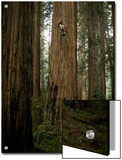 The Patriarch Grove Has the Largest Volume of Redwood Trees Posters by Michael Nichols