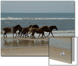 Wild Horses Run on the Beach in Assateague, Maryland Prints by Stacy Gold
