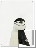 Chinstrap Penguin, South Orkney Islands, Antarctica Posters by Ralph Lee Hopkins