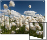 Cotton Grass Seed Heads Whip in the Wind, Paxon Alaska Posters by Michael S. Quinton