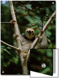 Three-Toed Sloth Nestles in the Crotch of a Young Tree, Costa Rica Prints by Mattias Klum