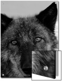 Grey Wolf Face Portrait in Black and White Print by Dawn Kish