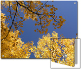Skyward View of Aspen Tree Leaves in Full Fall Color Posters by  Greg