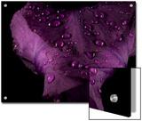 Water Drops on a Purple Flower in a Redwood Forest Habitat Art by Michael Nichols