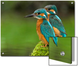 Adult Common Kingfisher Couple, Alcedo Atthis, on a Mossy Branch Posters by Joe Petersburger