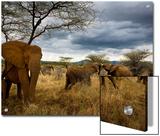 Adolescent elephants tussle amiably Prints by Michael Nichols