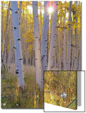 American Aspen Trees in Autumn Color Posters by  Greg