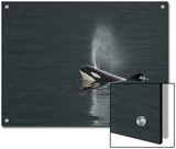 Killer Whale Calf Blows as It Surfaces Prints by Ralph Lee Hopkins