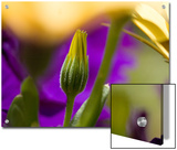 Yellow Osteospermum Bud in Front of Purple Petunias, Groton, Connecticut Prints by Todd Gipstein