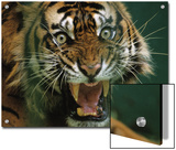 Close-up of a snarling tiger (Panthera tigris) Prints by Michael Nichols