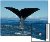 Sperm Whale (Physeter Macrocephalus) Tail, New Zealand Prints by Flip Nicklin/Minden Pictures