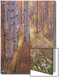 Grove of Aspen Trees at Sunset Posters by  Greg