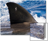 Great White Shark Swims Just under the Surface Off Guadalupe Island Posters by Mauricio Handler